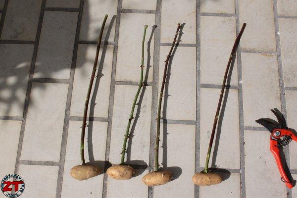 Vous aimez les rosiers quelques conseils et astuces pour les r ussir - Bouture de patate douce ...