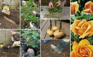 Bouture rosier sur pomme de terre