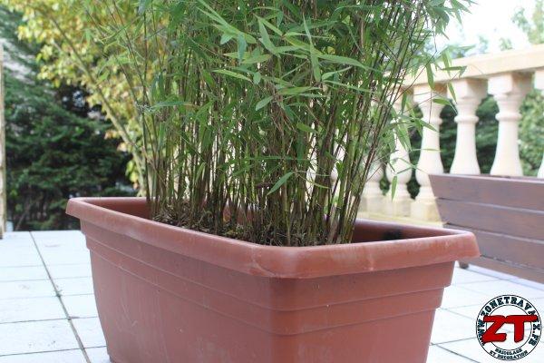 Jardin rempoter une plante bambou for Plantes bambou exterieur en pot