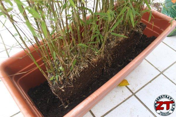 Jardin rempoter une plante bambou - Planter bambou en pot ...