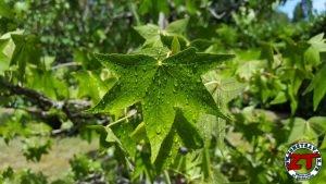 Tutoriel Jardinage : planter un arbre grand (liquidambar)